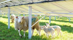 cropped solar and sheep 300x164 - cropped-solar-and-sheep.jpg