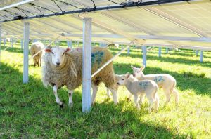 solar and sheep 300x198 - solar and sheep
