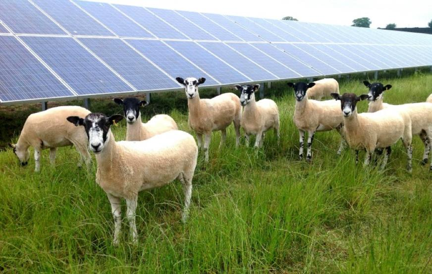 sheep and solar - Creacombe, near Yealmpton