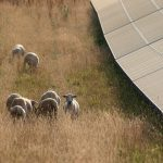 ND sheep 150x150 - Gallery