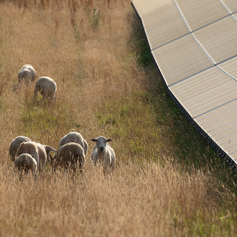 ND sheep - Home 1