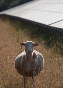 Sheep portrait 214x300 - Sheep portrait