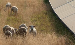 cropped ND sheep 300x180 - cropped-ND-sheep.jpg