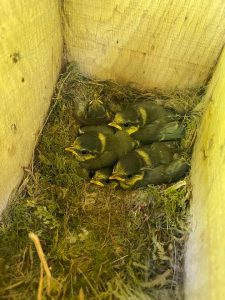 Tit chicks on bird box project supported by YCE. 225x300 - Latest News